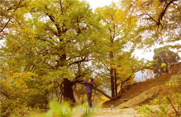 游客在银杏树前拍照 李明星摄.jpg