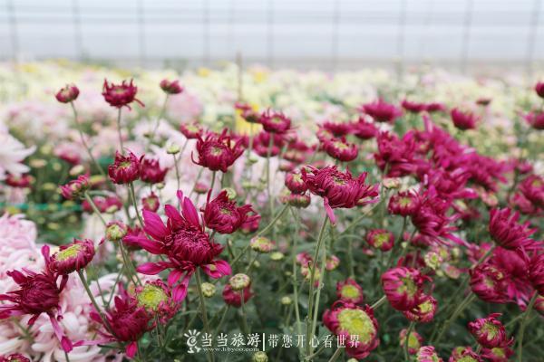 食用菊花1 李明星摄.JPG