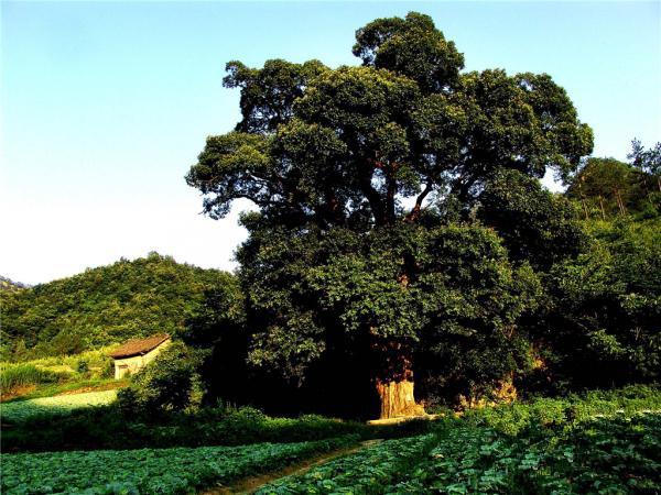 大川浪溪古树群景区