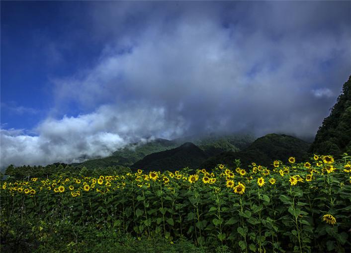 神龙架大九湖的向日葵