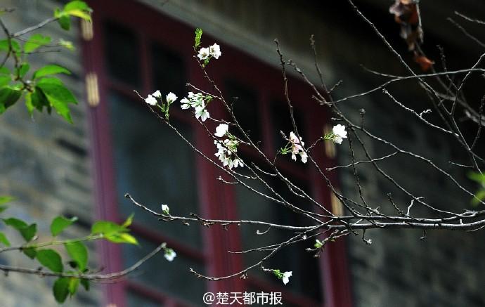 【资讯】稀奇 这个季节 武汉大学的樱花竟然开了