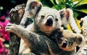 考拉是澳洲的特产动物