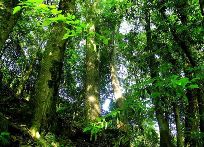 现存最大金丝楠木群落在竹溪 当地将打造原地保存库