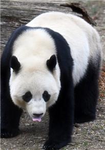 """旅美大熊猫""""宝宝""""即将回国"""