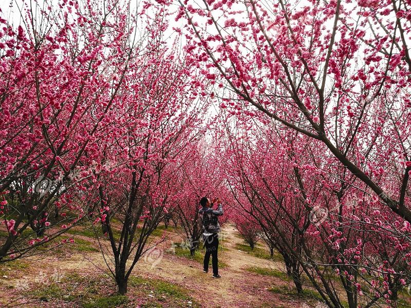 【资讯】十堰春季花期预报 带着家人去赏花
