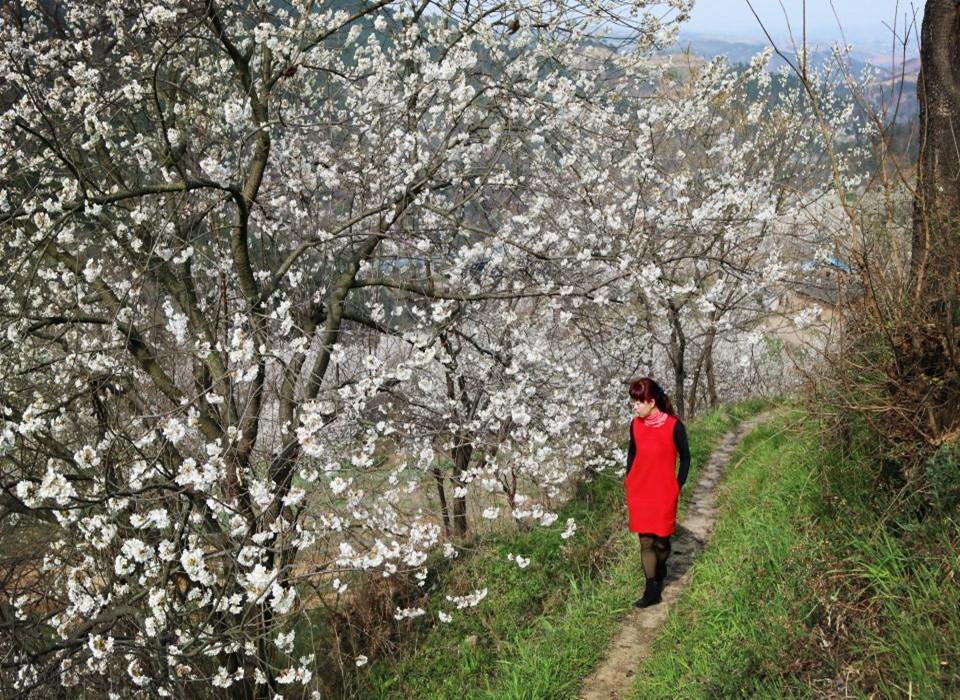 柳家河350亩樱桃花盛开 灿若烟霞
