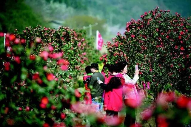 【资讯】惊艳!郧阳区鲍峡镇藏着鄂西北最大的茶花园