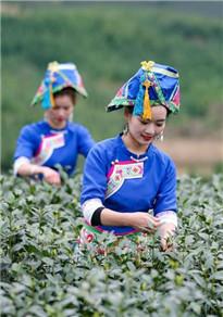 贵州侗家女茶模采茶忙