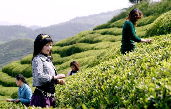 【资讯】品茶、寻宝 郧西首届采茶旅游节欢乐多