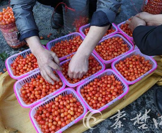 近万名游客涌入汉江街办摘樱桃