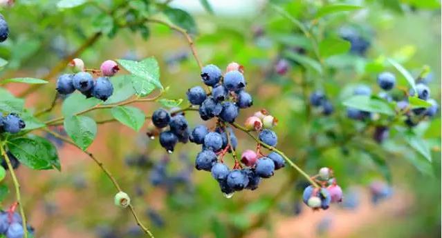 【资讯】吃货福利!十堰这里大片蓝莓已经成熟啦