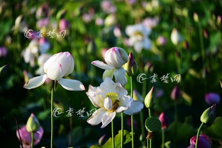 【资讯】绝美!郧阳区柳陂镇恐龙湖湿地公园荷花盛开