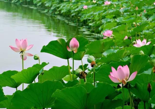【资讯】遗憾!郧阳区柳陂镇百亩荷花被水淹没!