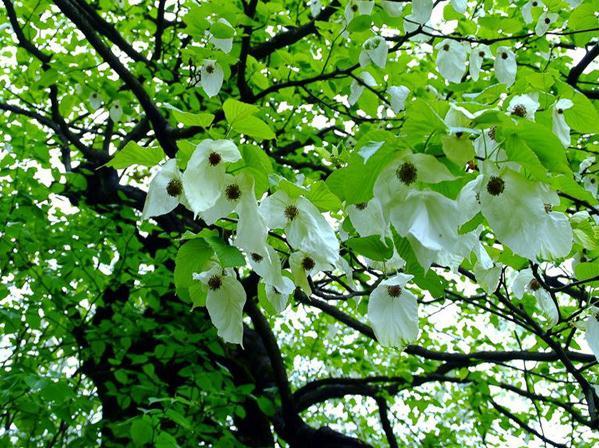 【资讯】罕见!神农架发现野生成片国家一级保护植物