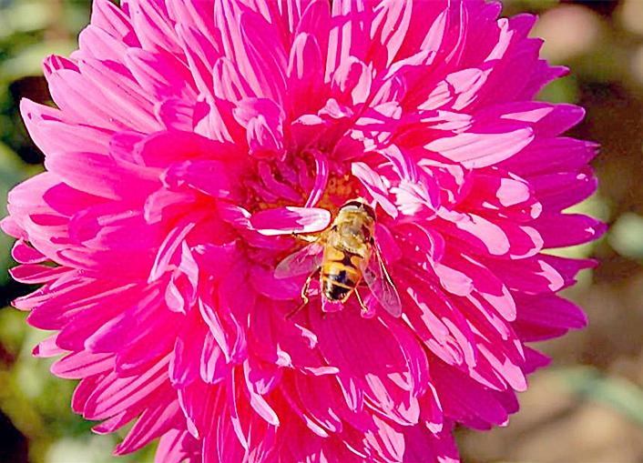 蜜蜂是花朵的好朋友