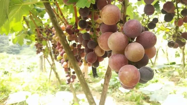 【资讯】垂涎欲滴!郧西这地6000余斤优质葡萄等着你