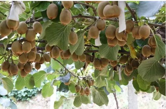 【资讯】西沟,有一颗低调的果子已经挂满枝头