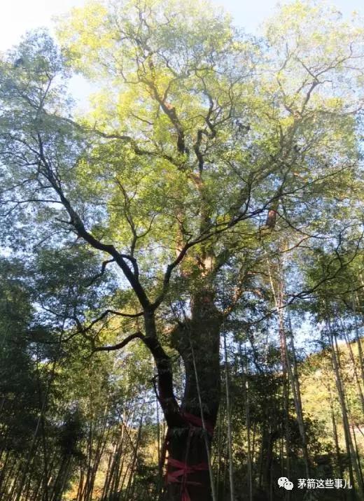 茅塔乡东沟村二组v胸径胸径黄连木古树,估测基地1500年,树高23米,树龄管道疏通器4米图片