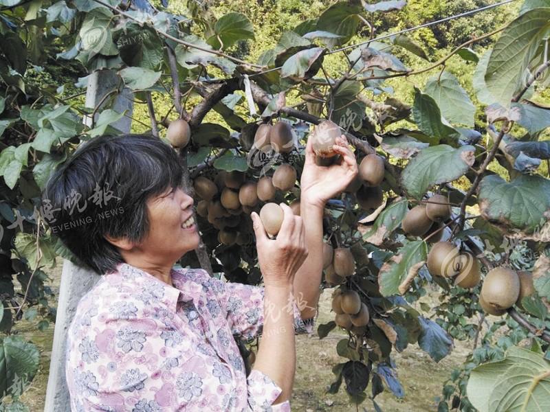 【资讯】九月底就熟了!十一假期去大川采摘猕猴桃吧!
