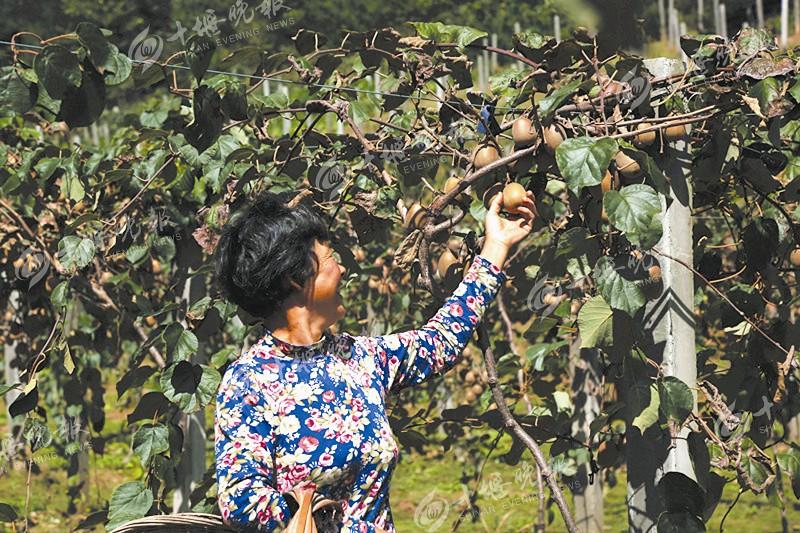 【资讯】金秋猕猴桃飘香 采摘游带动大川猕猴桃俏销