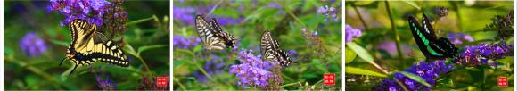 采花的蝴蝶