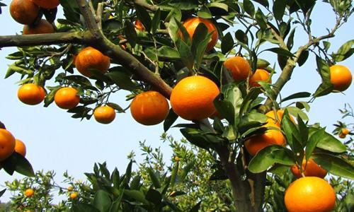 摘蜜橘,观美景:武当蜜橘采摘活动清新来袭
