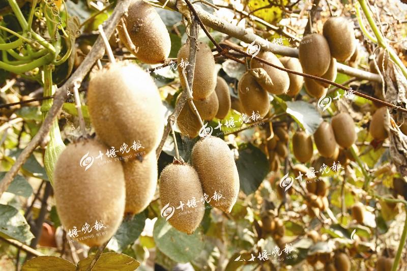 【资讯】特色农业+乡村  茅箭区猕猴桃产业日渐壮大