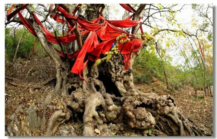 【资讯】十堰这里藏着一棵二千多年树龄的朴树!