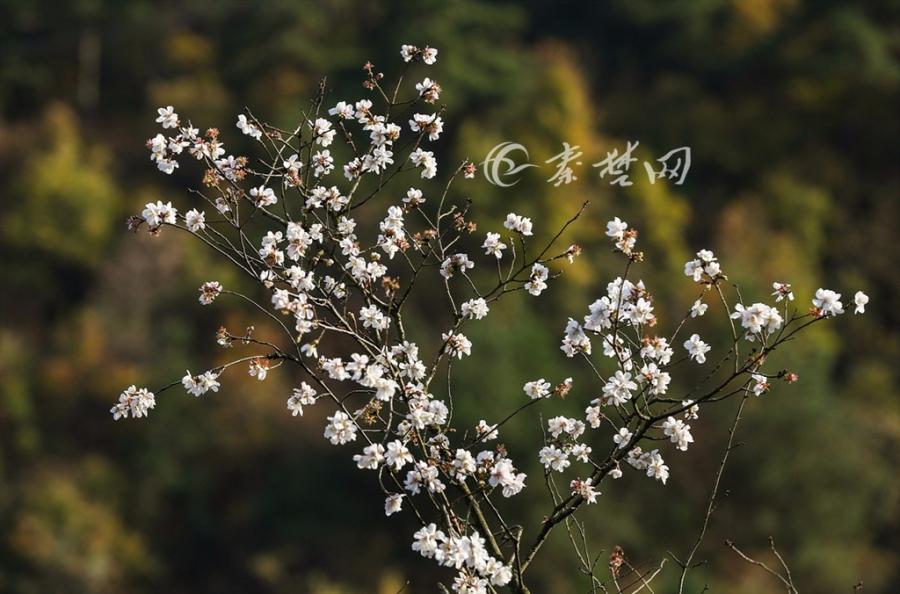 【资讯】稀奇!大冬天里樱桃花盛开!就在十堰这里!