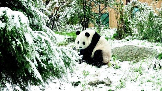 【资讯】神农架银装素裹分外妖娆  大熊猫玩雪憨态可掬