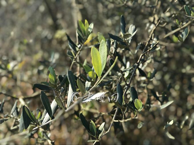 【资讯】罕见!十堰这里惊现全国最古老橄榄树群