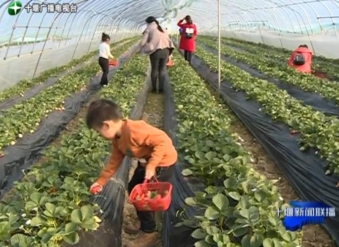 【资讯】十堰这里草莓成熟了  市民体验采摘乐趣