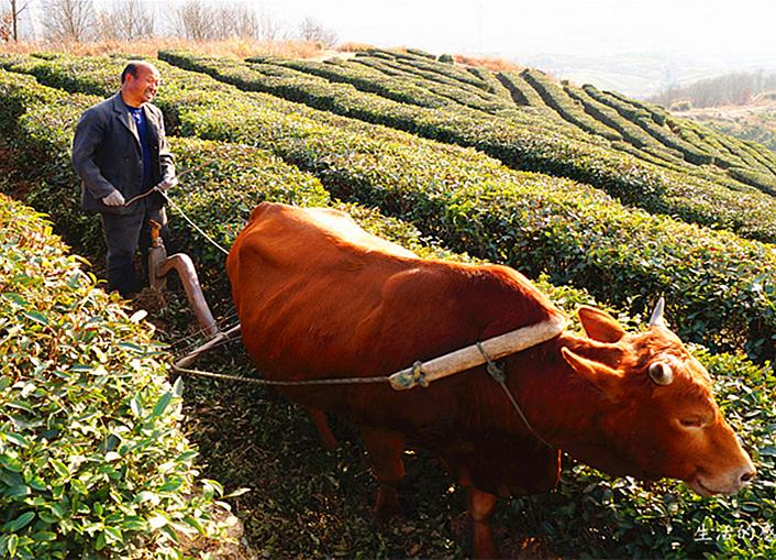 茶园里的耕地工