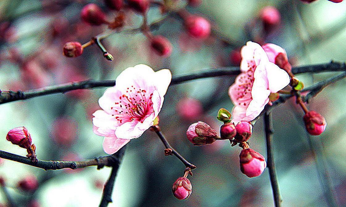 百二河樱花