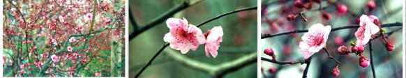 百二河紫樱花盛开