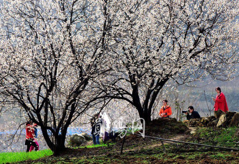 茶店镇大岭山村观赏樱桃花