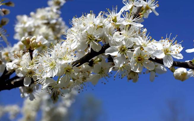 房县城关镇八里片区山上5000余亩樱桃花斗艳绽放