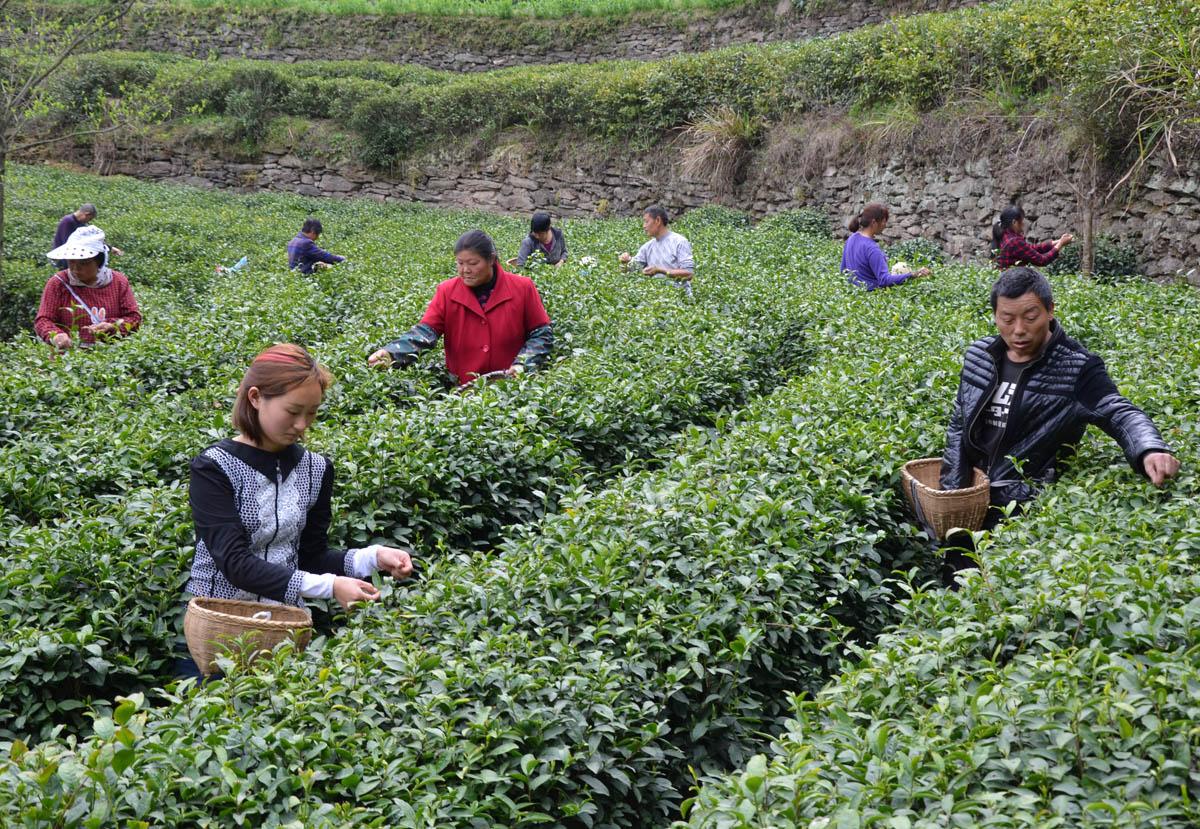 【资讯】竹山城关镇将构建茶产业生态旅游经济走廊