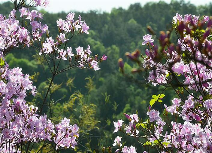 东沟杜鹃花已绽放,比去年早开一周
