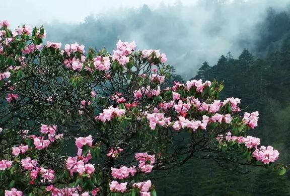 【资讯】神农架高山杜鹃竞相绽放,俨然花的海洋