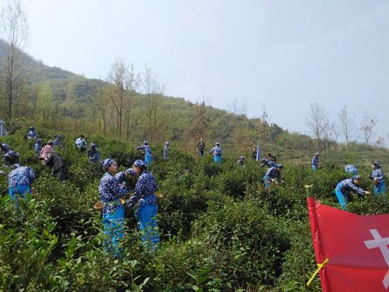 丹江口凤凰山村凤凰山茶场