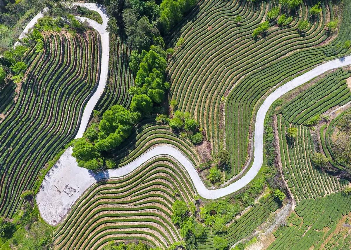 【资讯】茶韵飘香!市旅游委发布8条特色茶文化旅游线路