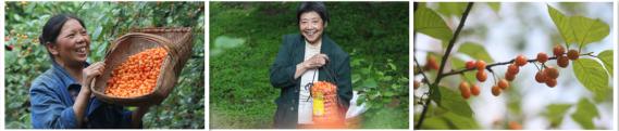 鲜嫩圆润的汉江樱桃挂满枝