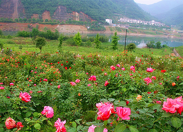 方滩玫瑰园进入盛花期