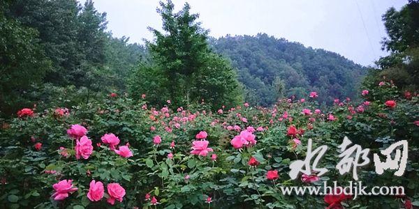 【资讯】丹江口浪河镇神仙谷玫瑰花开正艳  静待客来
