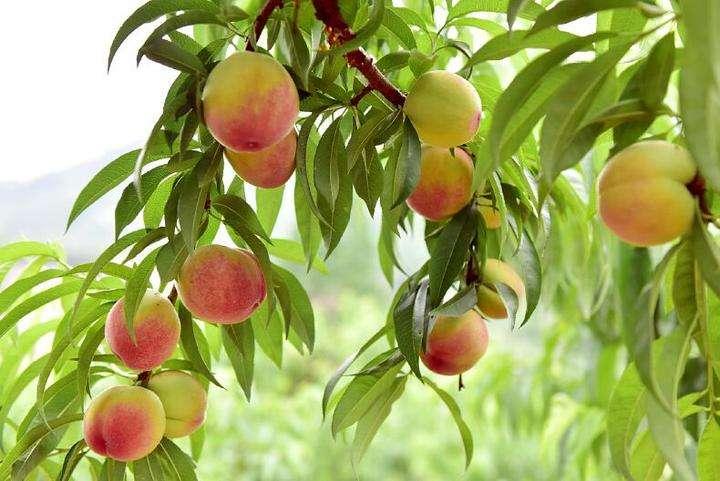 【资讯】十堰这里的桃子红了  将迎接游客前来采摘