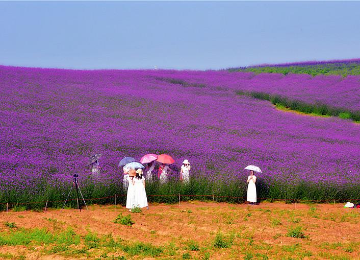 月亮湖薰衣草盛开 紫色浪漫令人陶醉