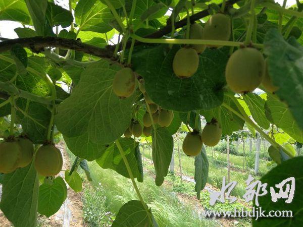 【资讯】十堰这里有500亩猕猴桃长势良好丰收在望
