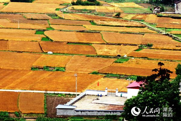 【资讯】郧阳区30万亩小麦将成熟  金色麦田入画来