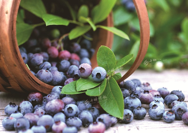 【资讯】营子村20余亩蓝莓陆续成熟   采摘游玩正当时